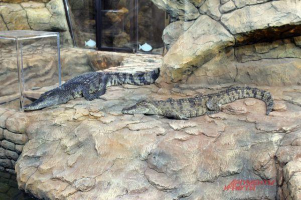 Каймановые крокодилы.