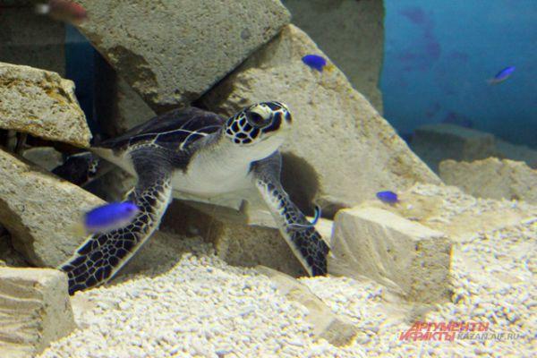 Оливковая черепаха.