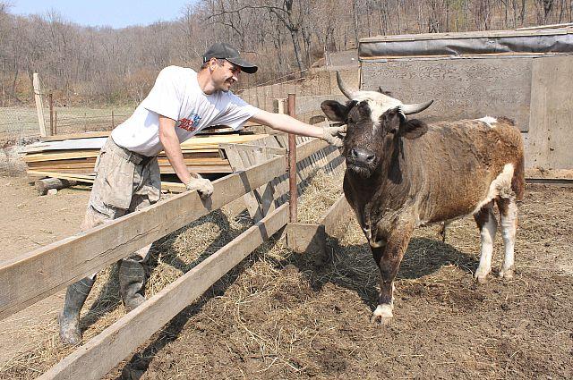 Крупный рогатый скот - основа фермерства в Приморье.