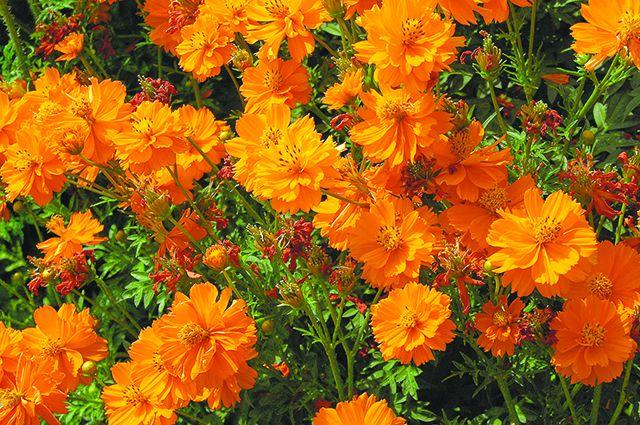 Однолетние цветы, цветущие все лето - название и фото 86