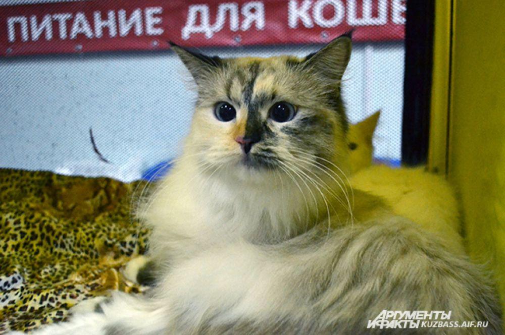 «Сибиряка» на выставке легко можно было отличить по шерсти. Это как раз сибирская невская маскарадная кошка.