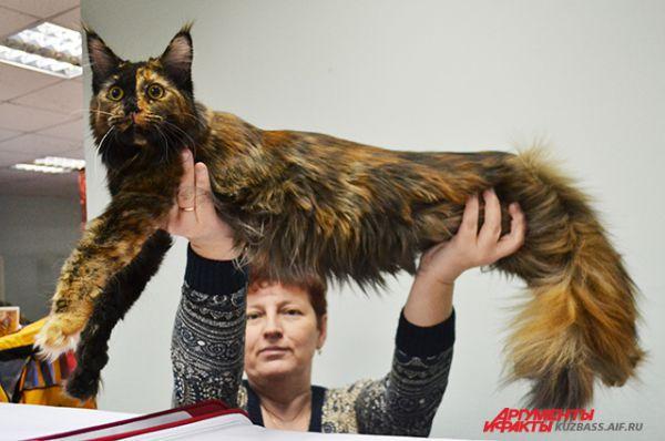 Если вы своим котом не гордитесь, то вам на выставке делать нечего. А вот мейн кун Олимпия… Да она и сама собой вполне гордиться может!