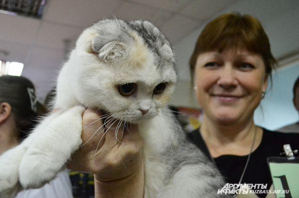 И, пожалуй, не найдётся любителя кошек, который пройдёт мимо скоттиш фолда.