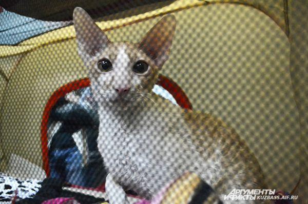 Другие на выставке вели себя настороженно и даже выходить из корзинки не желали ни за что, как этот котёнок ориентальной короткошёрстной породы.