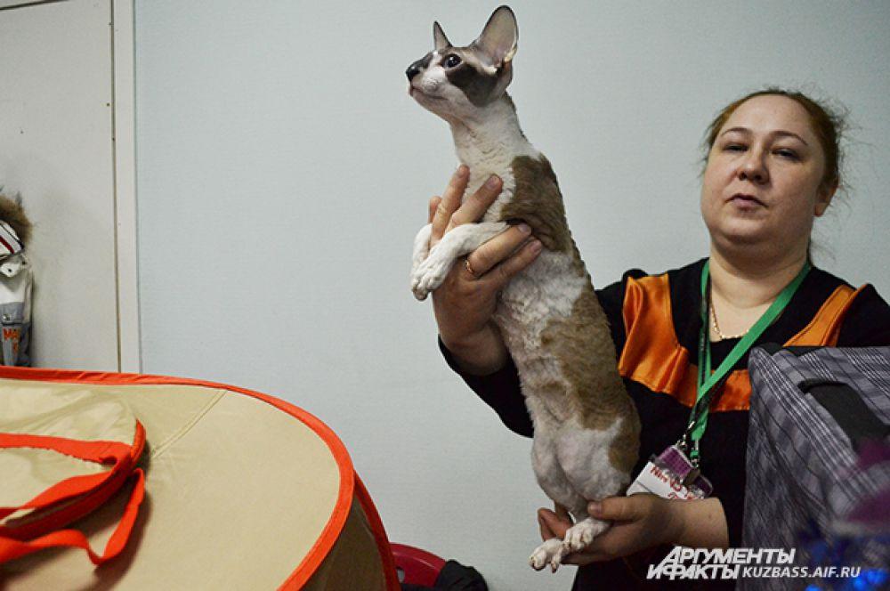 Тех, кто любит кошек стройных, порода корниш-рекс поразит изяществом.