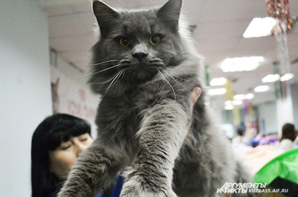 Почему-то в Сибири кошки породы мен кун довольно популярны. Впрочем, ничего удивительного нет. Они просто прекрасны.