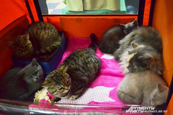 Кстати такие коты, как правило, отцы больших семейств. Это семейство скоттиш страйтов, но в рыжего папу котята почему-то не пошли.