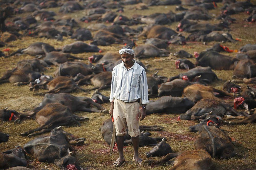 Фестиваль Gadhimai Mela в 160 километрах от Катманду. Несмотря на протесты активистов, борющихся за права животных, ежегодно на фестивале приносят в жертву несколько тысяч буйволов, свиней, коз, кур, крыс и голубей.