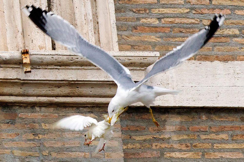 Нападение чайки на голубя, которого выпустили во время воскресной проповеди Папы Римского Франциска.