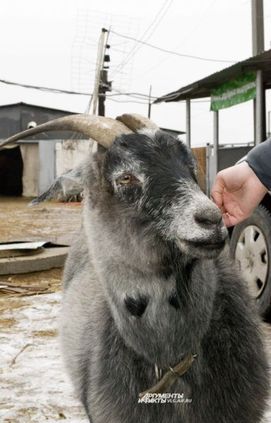 Коза любит, когда ее гладят за ухом.