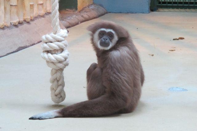 Гиббону Айрику из Калининградского зоопарка, как и сородичам, придется отвыкать от «экзотики».