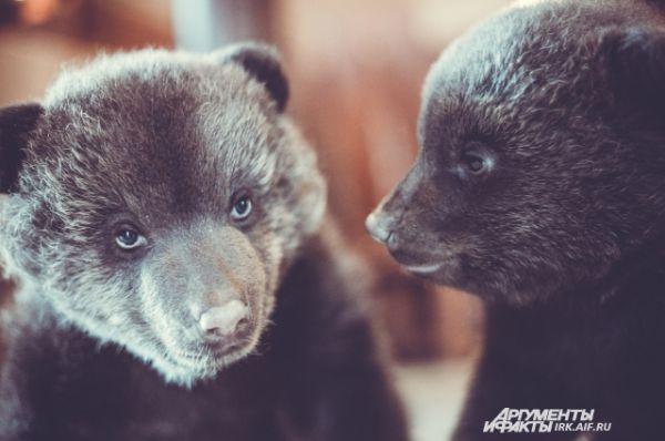 В марте мы рассказывали историю новорожденных медвежат Симы и Сёмы. Фотографии милых зверей здесь: http://www.irk.aif.ru/society/1128970