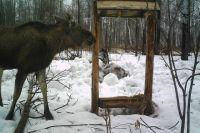 Лось с удовольствием позировал камере в лесу.