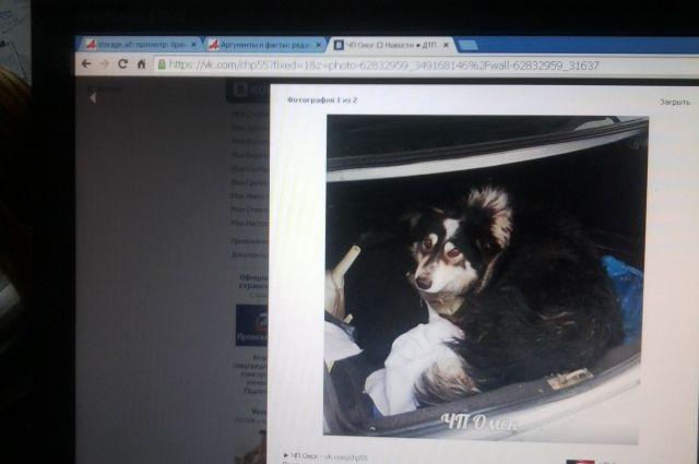 Бездомную собаку, в которую стреляли хулиганы спасли омичи.