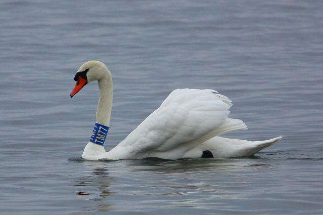 Белоснежный красавец прилетел на Куршскую косу из Литвы.