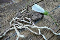 вьюнок полевой лечебные свойства