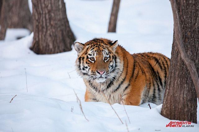 Зимой встреча с тигром наиболее опасна - часто животное голодно.