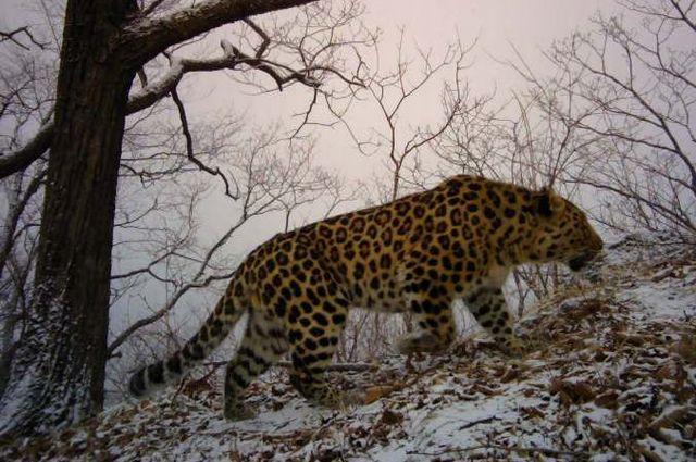Леопард «Мальчик»