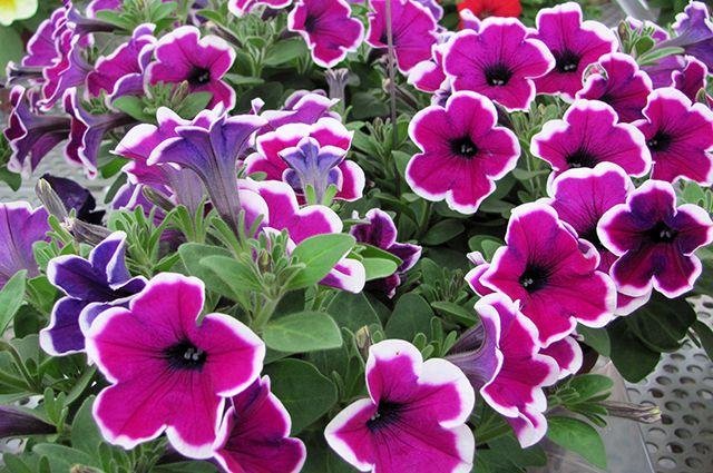 Современная петуния: богатство форм и расцветок.