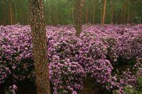 Рододендрон катэвбинский. Одно из растений, найденных и впервые описанных Андре Мишо.
