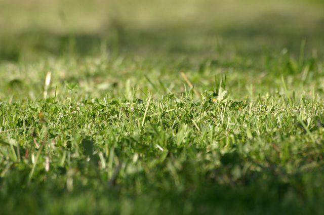 Чтобы сохранить траву короткой, зеленой ипостоянно растущей, требуется немало  усилий и рабочих рук.