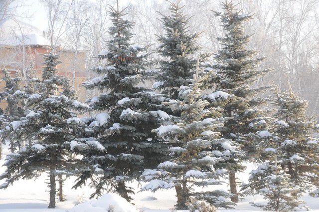 На Красном Пути вместо аварийных деревьев посадят новые.