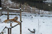 Днем тигрица Таня с высоты наблюдает за плодами своих трудов.