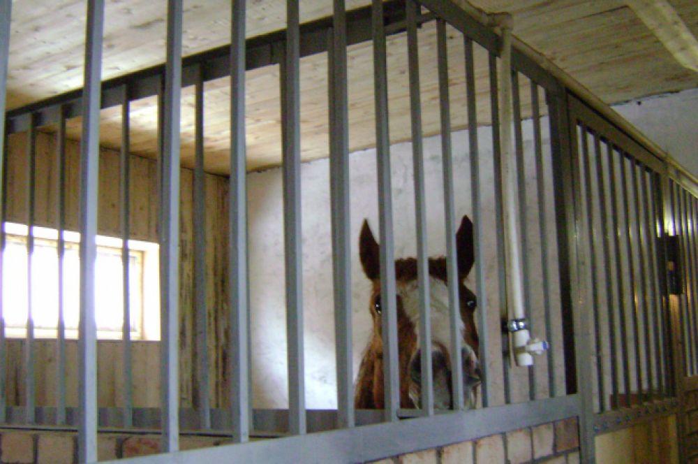 Сегодня в конюшне конно-спортивного клуба ДГТУ уже около десятка постояльцев.
