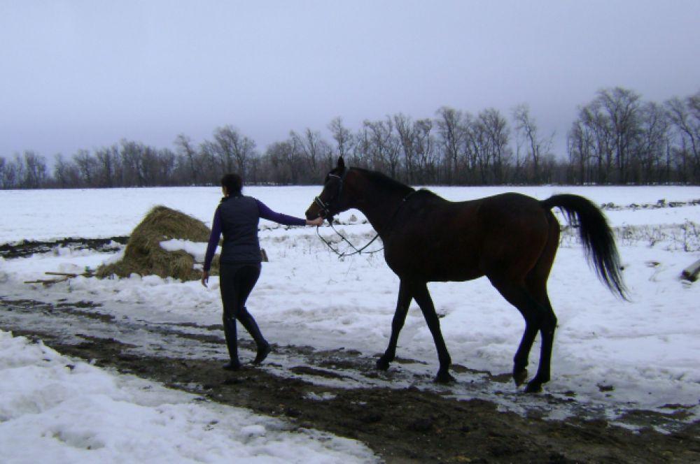 Специально для «АиФ-Ростов» лошадей выводят на прогулку.