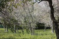 Горностаевая моль каждый год поражает в Иркутске яблони.