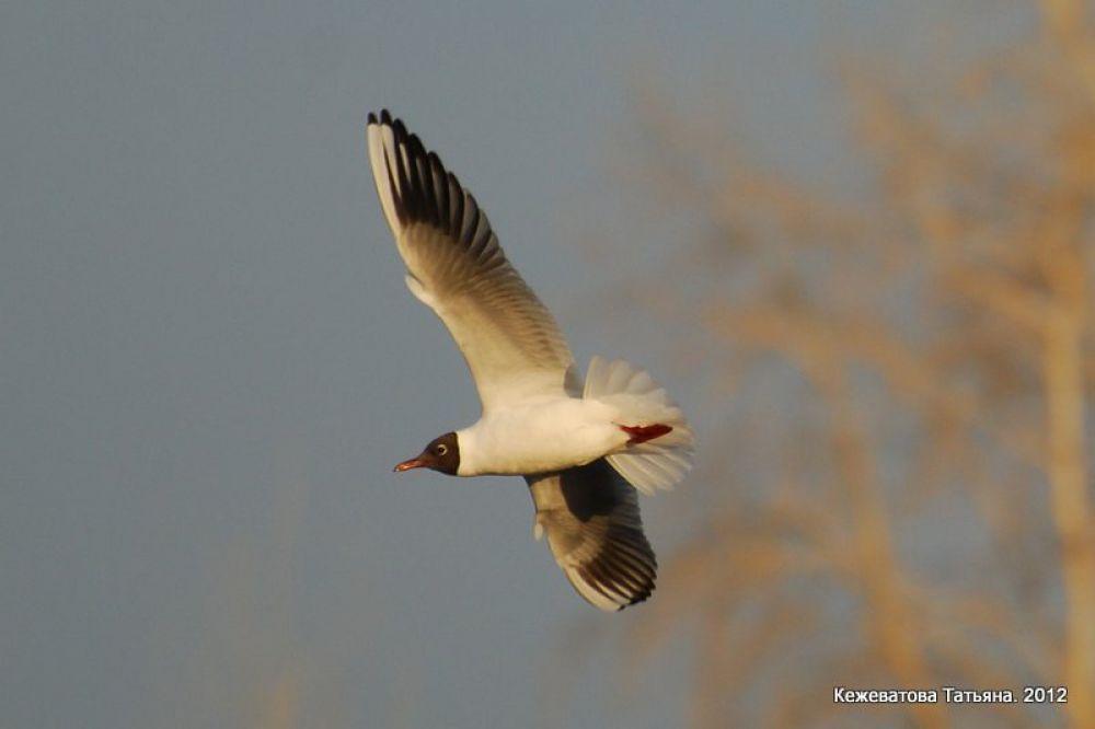 Озёрная чайка парит над озером