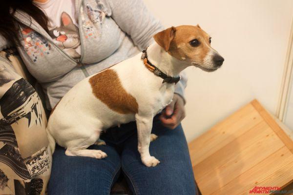 Порода собак Джек Рассел терьер была выведена в Великобритании в ХlХ века пастором, в честь которого и были названы эти охотничьи собаки.