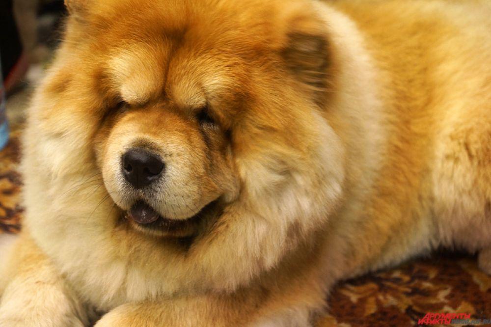 Собака породы Чау-чау – очаровательное создание, напоминающее пушистого «медвежонка»