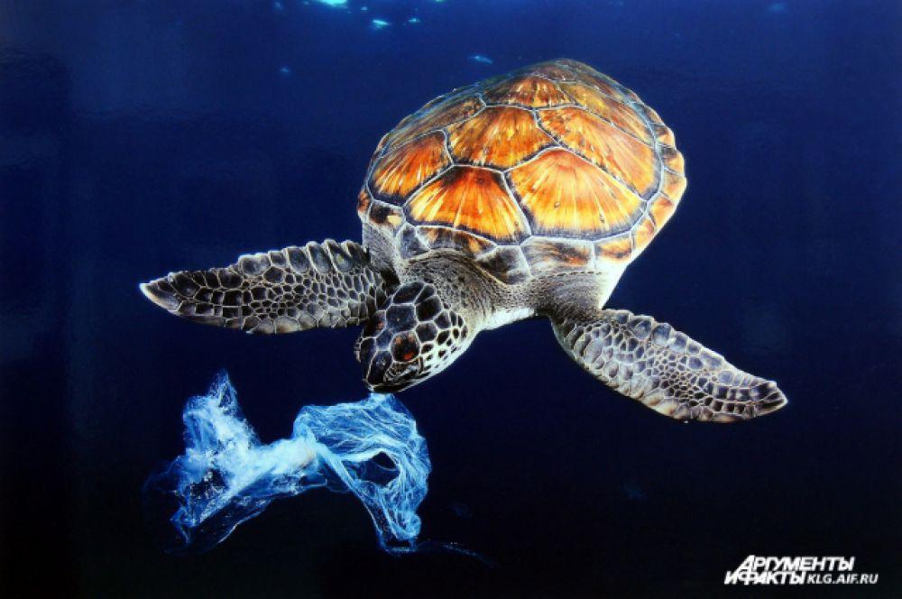 «Пластиковая медуза». Автор: Гарсия Фернандес Серхи (Испания). Комментарий автора: «Внешнее сходство пластиковых пакетов и медуз очень опасно, поскольку черепахи глотают пакеты по ошибке. Многие из них умирают от удушья илиот болезней пищеварительной системы. Мы не позволили этой черепахе съесть мешок, но их в океане много. И виноваты в этом мы. Я сделал фото на глубине 5 метров на Тенерифе (Канарские острова)».