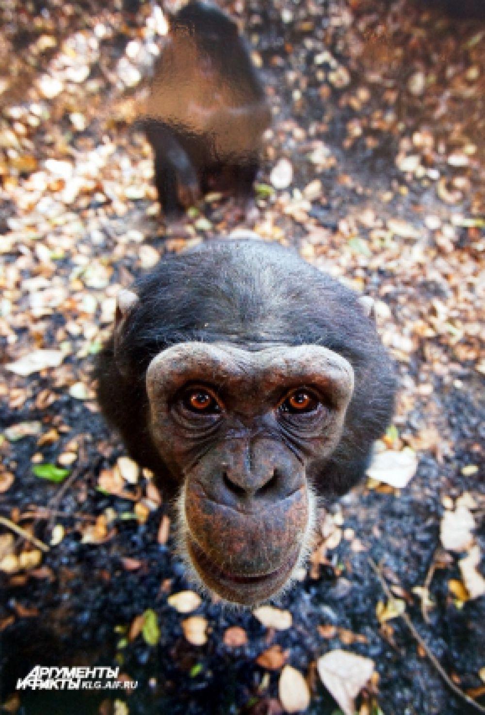 «Улыбочку». Автор Давид Грейо (Франция): «Дикий шимпанзе в национальном парке верхнего Нигера в Гвинее. Этот шипанзе радуется программе защиты сирот шимпанзе, которую осуществляет национальный парк».
