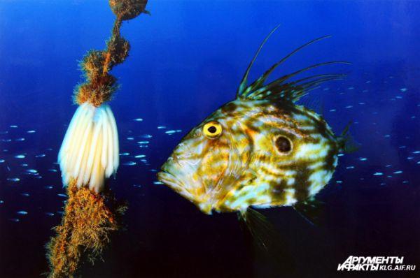 «Зевс». Автор Марк Казановас Феликс (Испания): «Солнечник прогуливается по своему королевству. Это довольно специфичный вид рыб, и сфотографировать их получается редко, но в зимние месяцы на небольших глубинах это возможно».
