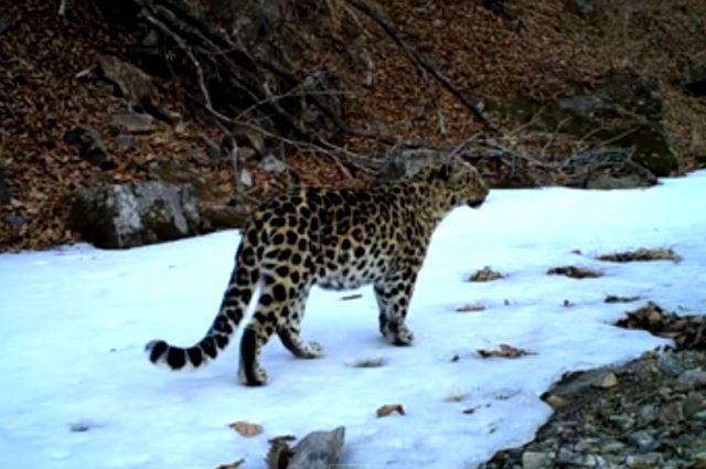 Котёнок леопарда в объективе фотоловушки.