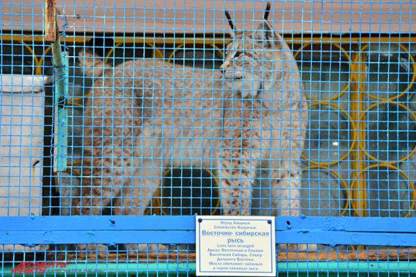 Большая красавица-кошка.