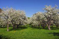 Яблоневый сад в Коломенском.