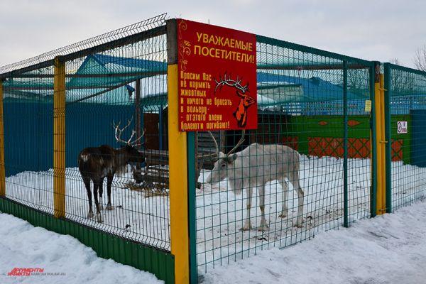Гордость зоопарка - белый олень.