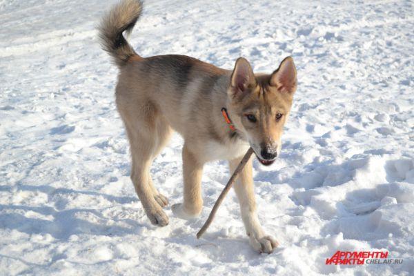 В перерывах между бегом галопом собаки не прочь побегать и за обычной палкой.