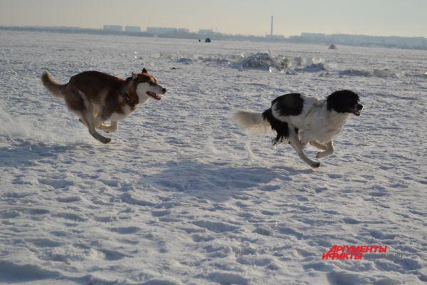 Собаки бегут за приманкой изо всех ног.