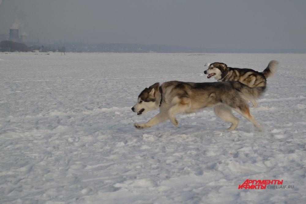 Приманка в любом случае оказывается быстрее собаки.