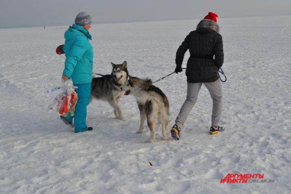 Еще до старта Аляскинские маламуты пристально стерегут свою