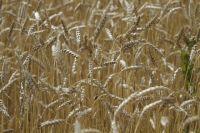 Пшеница в Омской области растёт хорошо.