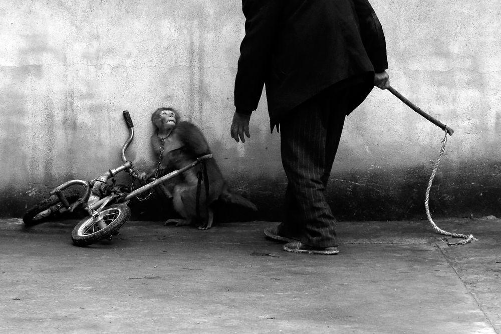 Янджи Чу, китайский фотограф, выиграл первый приз в категории «Природа». На его работе изображена перепуганная обезьянка к которой подходит дрессировщик.