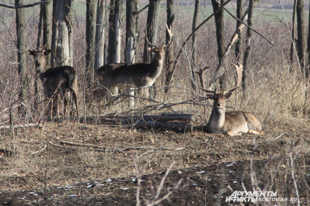 На поляне грелось два рогача и одна самка. В стаде четыре производителя–«рогача» с ветвистыми рогами.