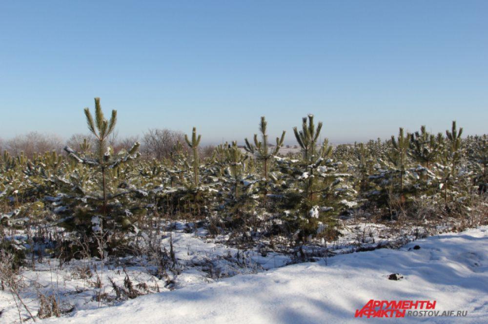 Ели высажены не на продажу - а для восполнения лесного запаса региона. Их возраст можно узнать по количеству «розеток», то есть наличия расстояния между ветками.