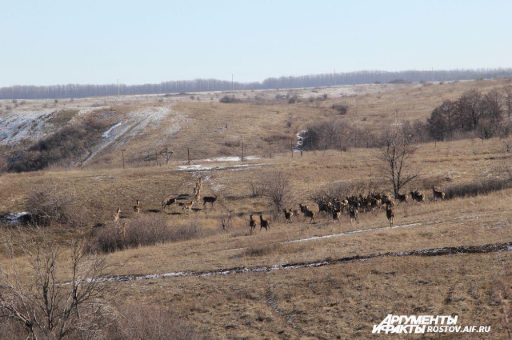 Мы заехали с другой стороны, где увидели, что олени вышли на открытое пространство.