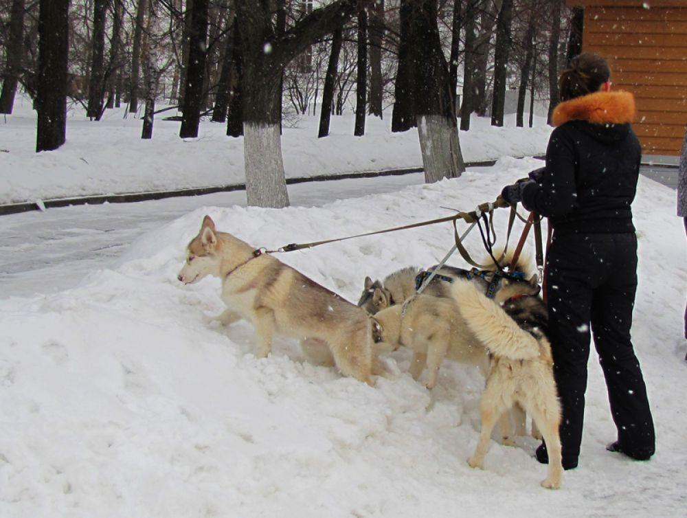 Каюр должен уметь управляться с несколькими собаками